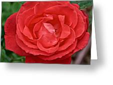 Coral Rose At Pilgrim Place In Claremont-california Greeting Card