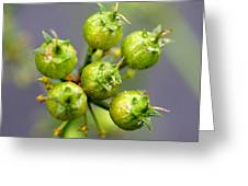 Coriander C. Sativum, Maturing Seedpods Greeting Card