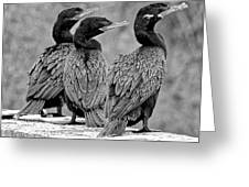 Cormorant Trio Greeting Card