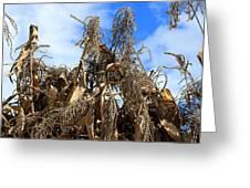 Corn Stalks Drying In The Sun Greeting Card