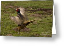 Crowing Pheasant Greeting Card