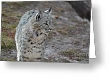 Curious Wandering Bobcat Greeting Card