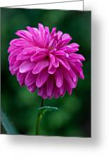 Dahlia Field Greeting Card