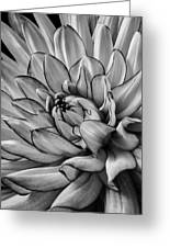 Dahlia In Black And White Close Up Greeting Card