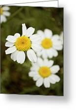 Daisies #1 Greeting Card