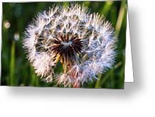 Dandelion In Nature Greeting Card