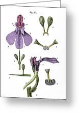Darwins Orchis Pyramidalis, Illustration Greeting Card