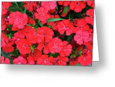 Dianthus Greeting Card
