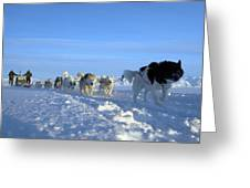 Dogsledge, Northern Greenland Greeting Card by Louise Murray