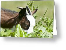 Domestic Pygmy Goat  Greeting Card