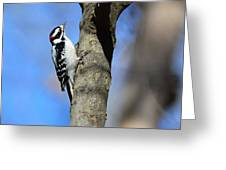 Downy Woodpecker Greeting Card