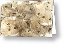 Dried Fruits Of The Cape Gooseberry Greeting Card