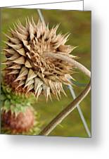 Dried Up Thistle Greeting Card