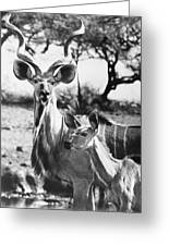 East Africa: Kudu Greeting Card