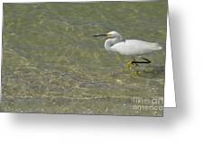 Eastern Great Egret In Florida Greeting Card