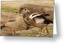 Egyptian Geese Greeting Card