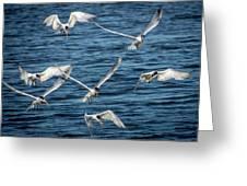 Elegant Terns Diving For Fish Greeting Card