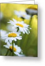 Elegant White Daisies Greeting Card