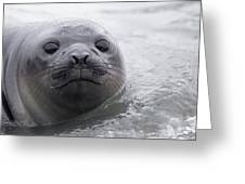 Elephant Seal Pup Greeting Card