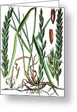 Elymus Repens, Commonly Known As Couch Grass Greeting Card