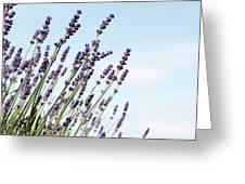 English Lavender Greeting Card