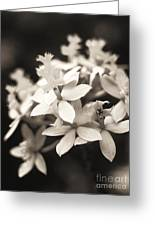 Epidendrum Orchid Greeting Card