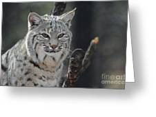 Face Of A Canadian Lynx Greeting Card