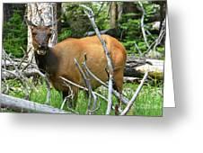 Female Elk Yellowstone Greeting Card