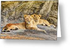 Female Lion And Cub Hdr Greeting Card