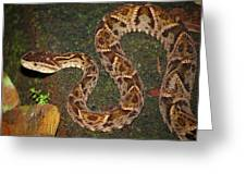 Fer-de-lance, Bothrops Asper Greeting Card