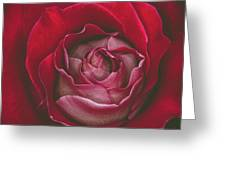 First Rose Bloom  Greeting Card