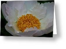 Franklin Tree Flower 1 Greeting Card