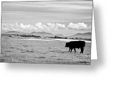 Free Range Beef Cattle On Open Farmland Anglesey North Wales Uk Greeting Card