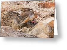 Galapagos Dove In Espanola Island. Greeting Card