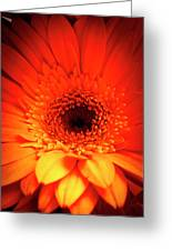 Gerbera Daisy Detail Greeting Card