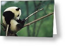 Giant Panda Ailuropoda Melanoleuca Year Greeting Card