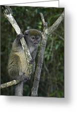 Gray Bamboo Lemur Greeting Card
