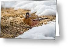 Gray Capped Rosy Finch In The Snow Greeting Card