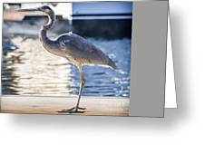 Great Blue Heron Greeting Card