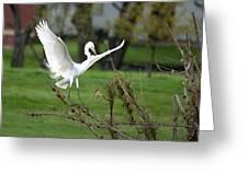 Great Egret Prepared For Landing Greeting Card