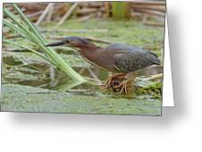 Green Heron Greeting Card
