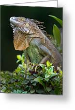 Green Iguana Iguana Iguana, Sarapiqui Greeting Card