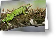 Green Iguana Iguana Iguana, Tarcoles Greeting Card