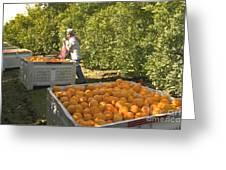 Harvesting Navel Oranges Greeting Card