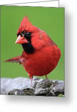 Hello Cardinal Greeting Card