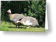 Helmeted Guineafowl Greeting Card