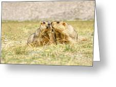 Himalayan Marmots Pair Kissing In Open Grassland Ladakh India Greeting Card
