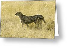 Hunting Cheetah Greeting Card