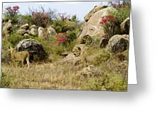 Hunting Lionesses Greeting Card