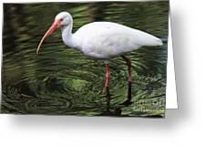 Ibis In The Marsh Greeting Card